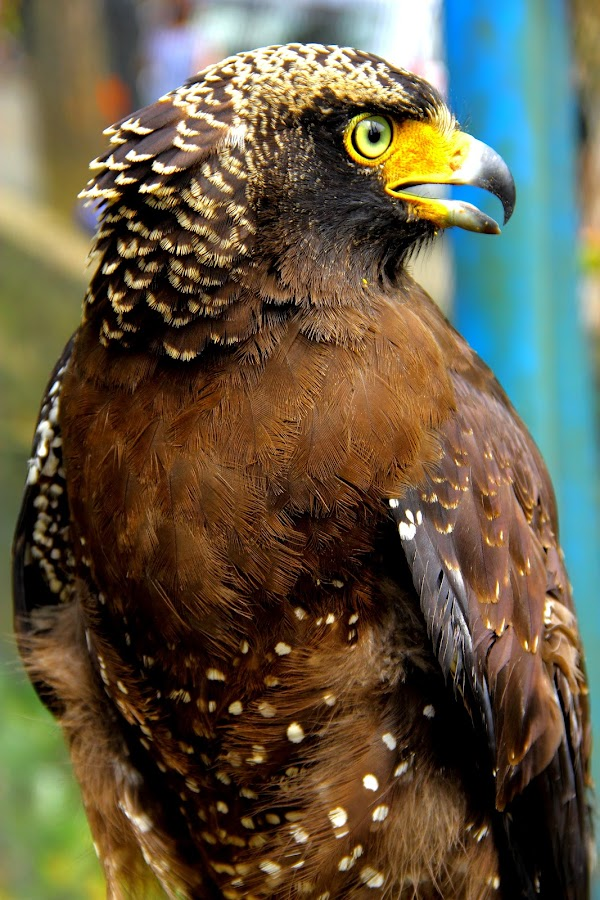 eagle by Tommy Tyo - Animals Birds