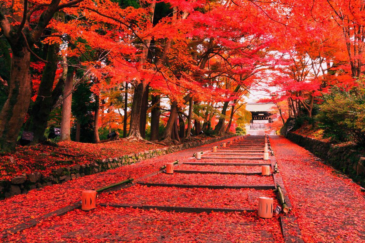 Du lịch Nhật bản vào mùa thu bạn sẽ được thỏa sức ngắm những con đường đầy lá vàng, lá đỏ