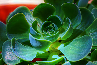 """Photo: Echeveria, or """"Hens & Chicks"""", as they are popularly known. But it's a very popular name, referring to a variety of things, even a strain of opium poppy."""