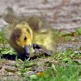 Gosling by Jon Hurd - Animals Birds ( bird, gosling, foot. nature, wildlife, geese, goose )
