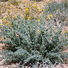Common Reaumuria