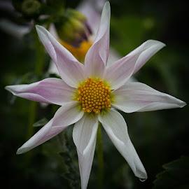 Density's Blessing by Janet Marsh - Flowers Single Flower ( denstiy's blessing, dahlia,  )