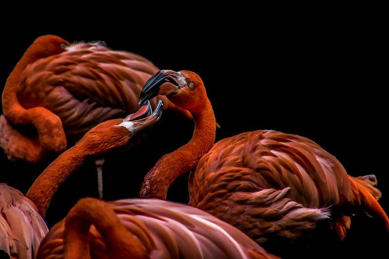Flamingos di Nefti-Monica