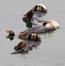 Photo: (Year 3) Day 20 - Otters Floating #3
