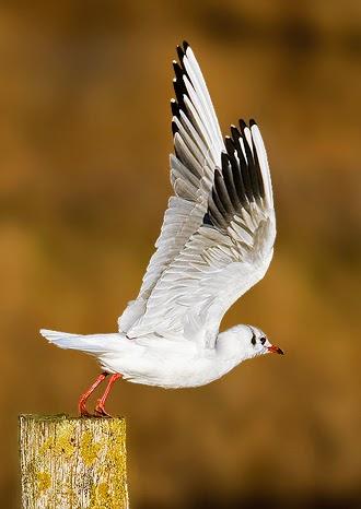 Photo: Black Headed Gull - Weymouth, UK