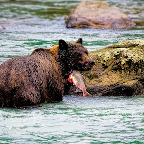 Bear Necessities by Justin Orr - Animals Other Mammals ( grizzly, bear, nature, alaska, salmon, brown, mammal )
