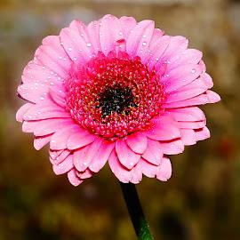 Gerbora n00113 by Gérard CHATENET - Flowers Single Flower