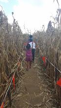 Photo: navigating through the corn maze