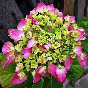 HYDRANGEA by Wojtylak Maria - Flowers Flower Gardens ( pink, green, in bloom, bush, hydrangea, flower,  )
