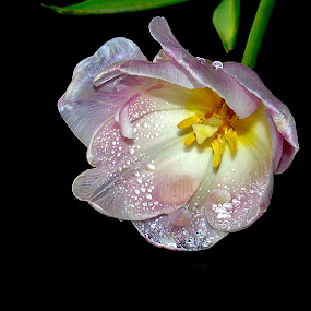 TULIP IN WATERDROPS by Wojtylak Maria - Flowers Single Flower ( decorative, inside, tulip, pink, waterdrops, flower,  )