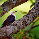 Pica-pau-branco (White Woodpecker)