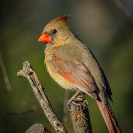 by Mike Craig - Animals Birds ( bird, cardinal, female cardinal )