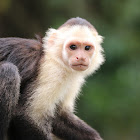 Central American white-faced Capuchin