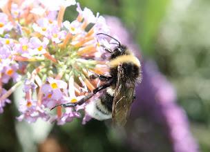 Photo: Bombus terrestris  Hymenoptera > Apidae