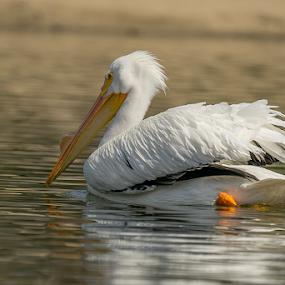 Duck by Fabienne Lawrence - Animals Birds ( duck, bird, featjer, duckling, water, lake )
