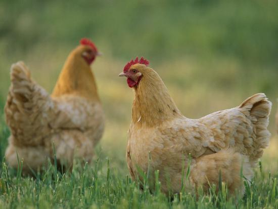 """""""Orpingtons are big, friendly birds- for many small farms and homesteaders, Orpingtons are the only way to go!  They're cold-hardy due to their fluffy plumage and make wonderful mothers. Plus, they're gentle and friendly on top of being good layers."""" mypetchicken.com"""