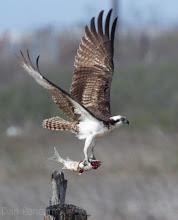 Photo: Osprey in Quintana 2012