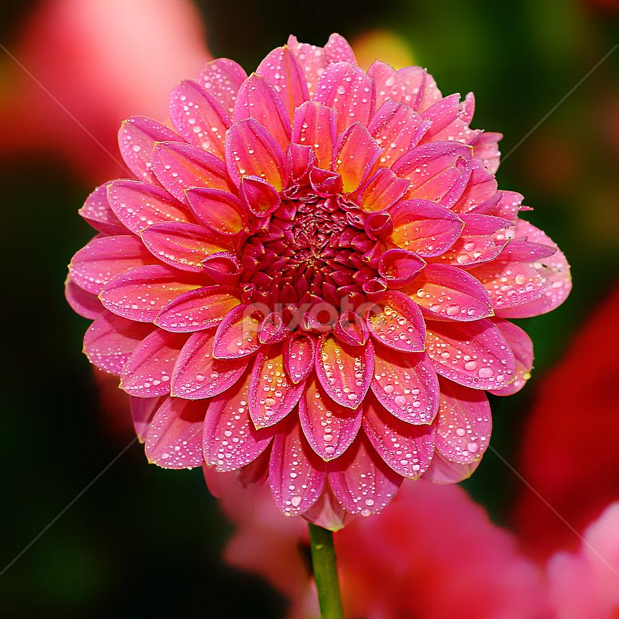 Dalhia n000222 by Gérard CHATENET - Flowers Flowers in the Wild