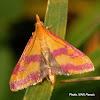Moth Crambidae