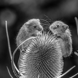 Mice duo by Garry Chisholm - Black & White Animals ( mice, mouse, nature, garrychisholm, rodent, mammal )