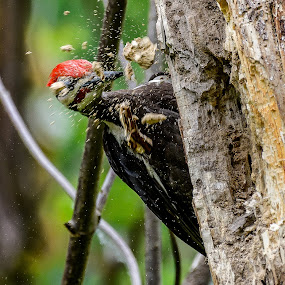 Chips Flying by Jerry Cahill - Animals Birds ( pileated, woodpecker )