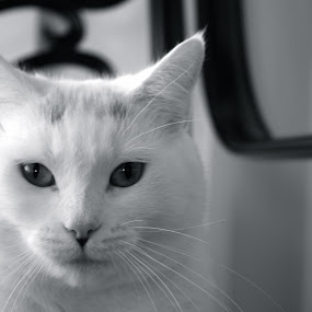 by Joelle McGraw - Animals - Cats Portraits ( chair, kitten, cat, animals, black and white, beautiful, pets, fierce, white, cute, close up )