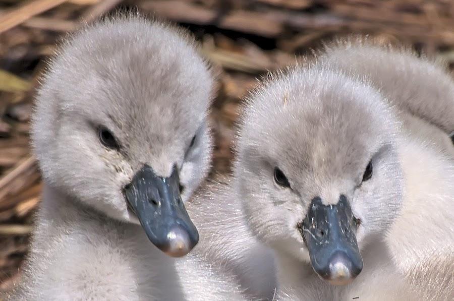 Brothers by Massimo Mazzasogni - Animals Birds ( nature, massimo mazzasogni, beak, little, swan, feathers, chicks )