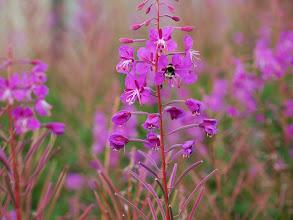 Photo: kolory skandynawii - Wierzbówka kiprzyca