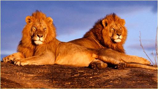 HDライオンズの壁紙