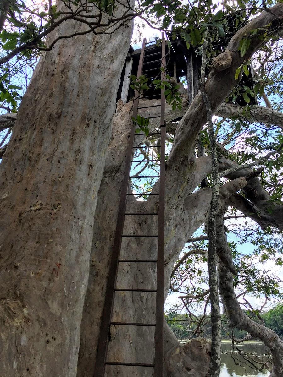 Sri. Lanka Wilpattu National Park . Ladder up the observation treehouse?