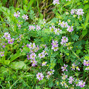 Crownvetch, purple crown vetch