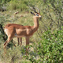 Gerenuk  -  Swahili-Swala twiga