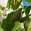 Southern flannel moth caterpillar