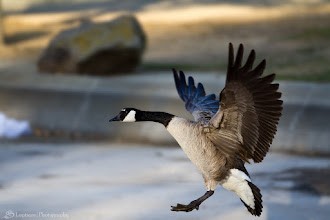 Photo: The Goose Has Landed @ Memorial Park, Cupertino, CA - http://photo.leptians.net/#The_Goose_Has_Landed.jpg