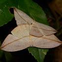 Hook Tip Moth