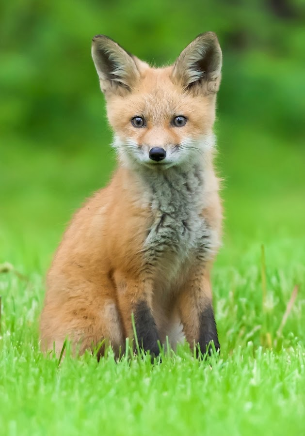 Red Fox Kit by Jack Currie - Animals Other Mammals ( outdoors, nature, jack currie, fox, wildlife )