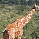 Giraffe  -  Reticulated Giraffe, Swahilli: Twiga