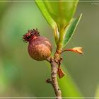 Ficus variolosa 變葉榕