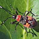 Australian harlequin bug