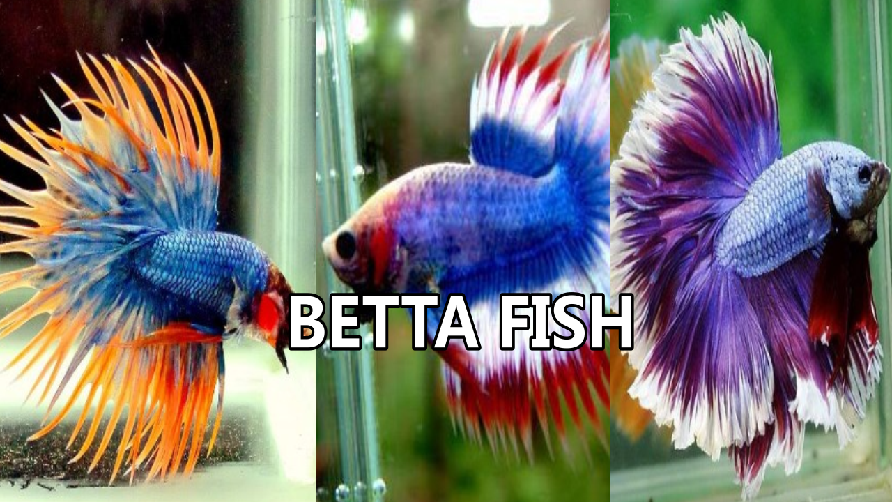 Betta fish pictures android apps on google play for Lifespan of a betta fish in captivity