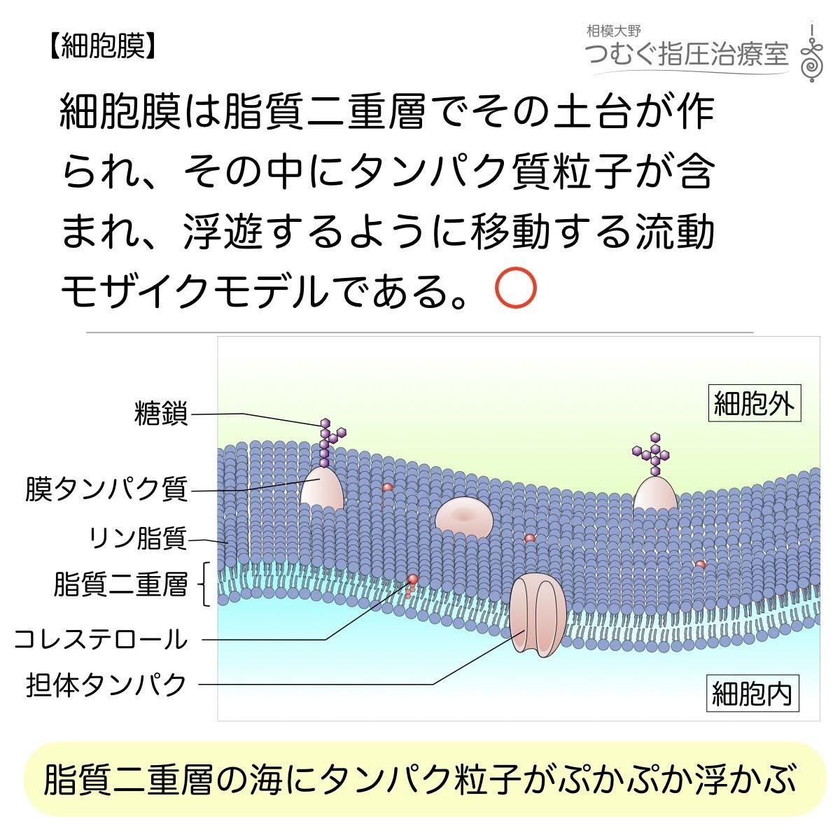 細胞膜は脂質二重層の流動モザイクモデルである