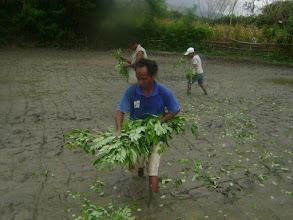 Photo: Adding organic matter to a field in Timor Leste.  [Photo courtesy of Movimento Co-operativa Econômica Agricoltura  (MCE-A) SRI program, Timor Leste, July 2015]