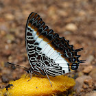 Cream-banded Charaxes
