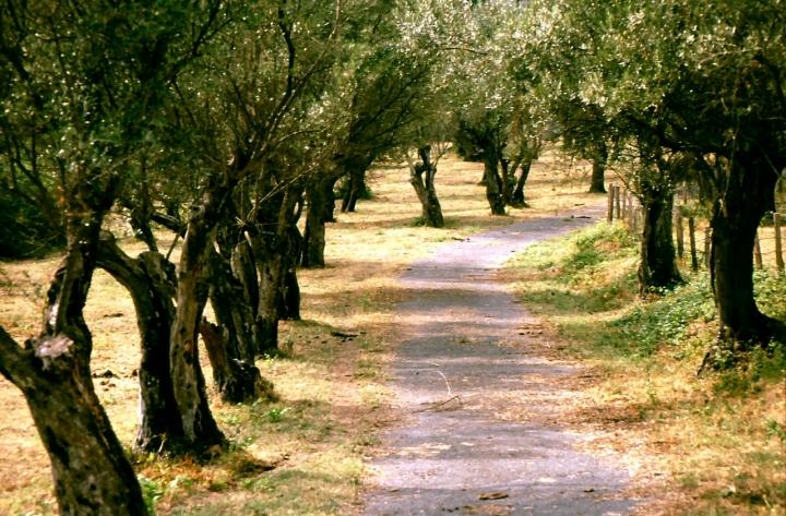 Gli ulivi accompagnano il sentiero di batti