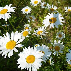 Daisys by Sandy Davis DePina - Flowers Flowers in the Wild