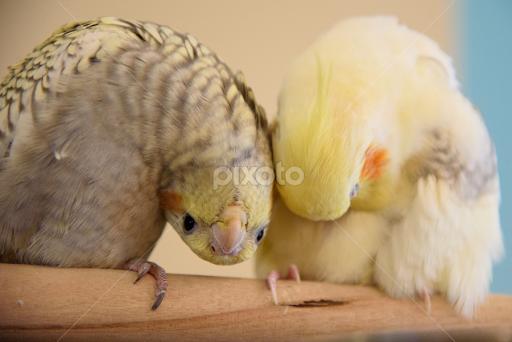 Cute baby cockatiel - photo#8