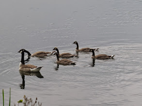 Photo: 21 Jun 13 Trench Lock Pool: Adult Canada Geese with 4 well-grown goslings at Trench Lock: still unfledged and had eluded me on previous visits (Ed Wilson)