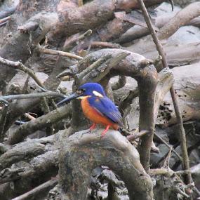 by Kim Pauly - Novices Only Wildlife ( #bird, #daintree, #tiny, #australian, #mangrove,  )