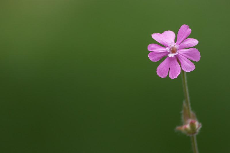 Il fiorellino rosa di Davide_79