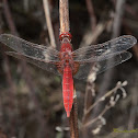 Common NameScarlet dragonfly